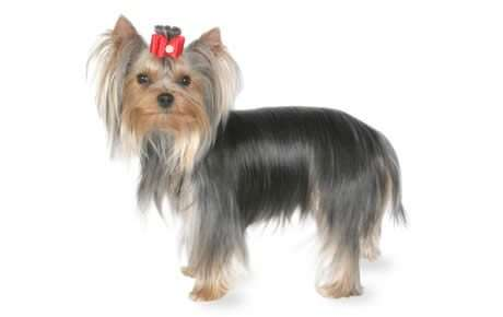 file_23132_yorkshire_terrier_460x290